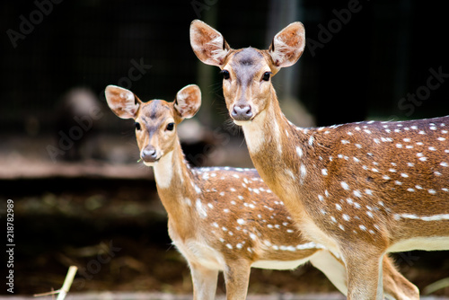 Deer puppies are growing into the age Canvas Print