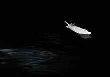 Egret Feather Floating On Calm...