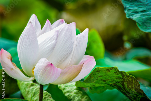 Foto op Canvas Lotusbloem beautiful Red or pink Lotus Flower or water lily growing in tropical thailand country.nature.symbol of the Buddha.