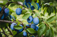 Ripe Plums On The Tree In The Orchard