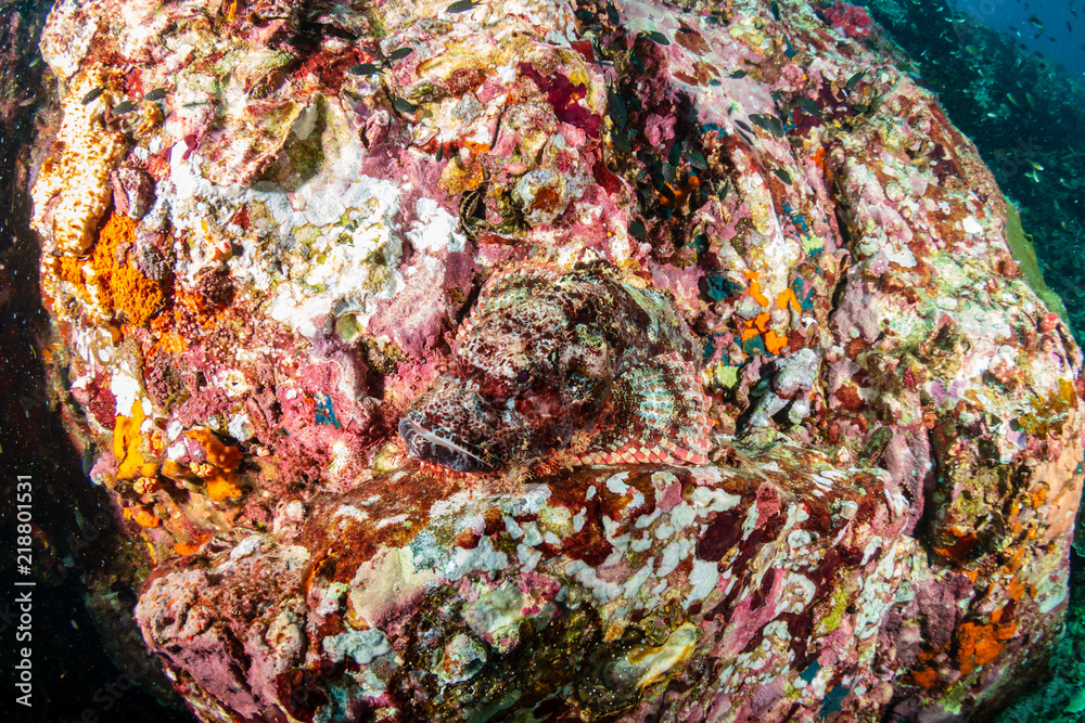 Camouflaged Scorpionfish on a colorful tropical coral reef
