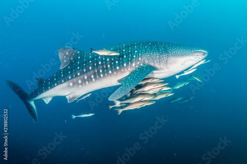 Obraz na dibondzie (fotoboard) Ogromny rekin wielorybi z ławicami ryb na ciemnej tropikalnej rafie koralowej
