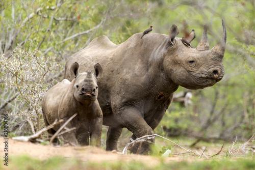 Rhinocéros noir, femelle et jeune, Diceros bicornis, Parc national Kruger, Afrique du Sud