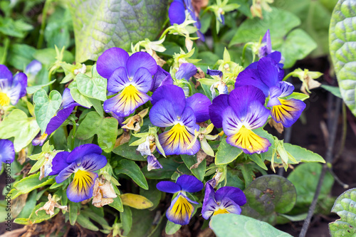 Flowers Viola tricolor Pansy on natural background