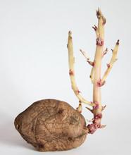 Germinated Potato Isolated On ...
