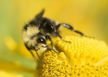 Bumblebee (Bombus) On A Yellow...