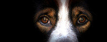 The Eyes Of Dogs, Emotions And...