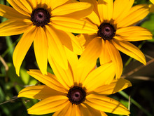 Yellow Rudbeckia (coneflowers, Black-eyed-susans) Flowers, Macro