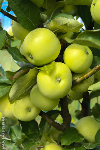 Organic ripe apples hanging on a tree branch in an apple orchard. Fruit garden with lots of large, juicy apple in sunlight ready for harvesting