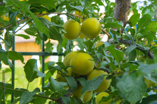 Organic mature yellow plums hanging on a tree branch in the garden. Fruit garden with lots of large, juicy plums in sunlight ready for harvesting