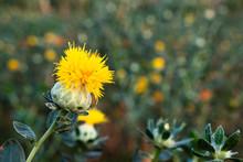 Beautiful Yellow Safflowe In N...