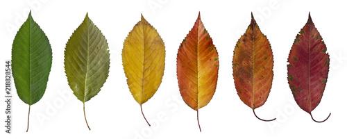 colorful autumn leaves cherry tree Fototapete