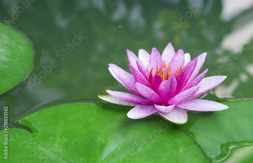 Beautiful Lotus Flower Or Water Lily In A Pond With Green Leaves In