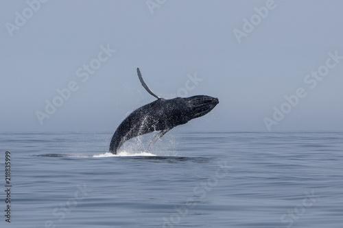 Fototapeta premium Humbak ucieka z Oceanu Atlantyckiego u wybrzeży Cape Cod