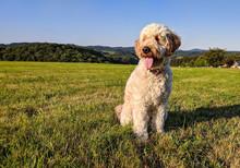 Goldendoodle - Hund