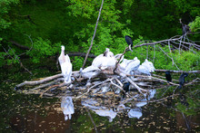 Pelicans, Pelican, Water, Bird, Birds, Nature, Swan, White, Lake, Animal, Pelican, Pond, Wildlife, River, Beak, Animals, Green, Swans, Wild, Grass, Forest, Feathers, Farm, Landscape, Tree, Background