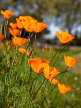 A Patch Of Orange Poppy Flowers On A Sunny Day