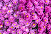 Beautiful Pattern Background Filled With Purple Chrysanthemums