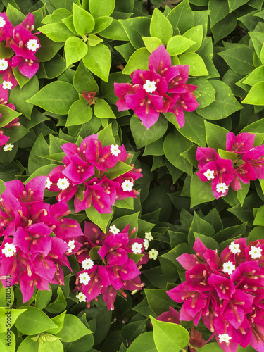 Canvas Print Top view of the pink bougainvillaea bush.