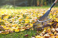Rake With Fallen Leaves At Aut...