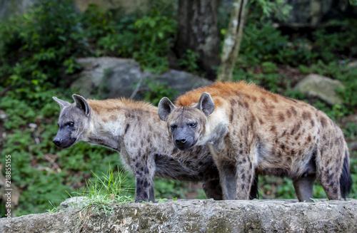 In de dag Hyena Hyena in the Zoo