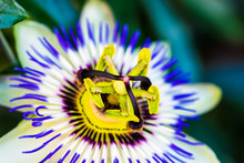 Common Passion Flower, Macro Color Photo ,passiflora Caerulea