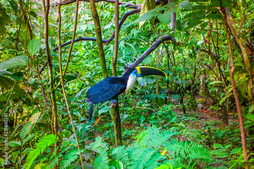 Fotografia  Bird Toucan living in the jungles of the Amazon