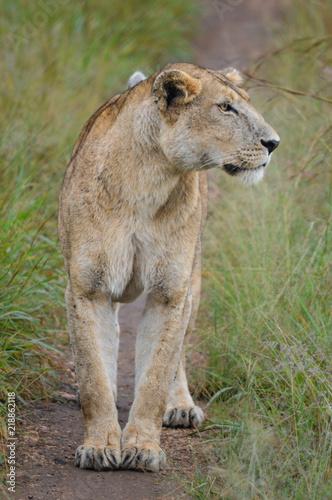 Foto  Weibliche Löwin in Graslandschaft in der Nahaufnahme 2; Kidepo Valley National P