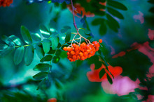 Red Ashberry On Background Of ...