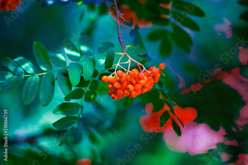 Fotografie, Obraz  Red ashberry on background of green leaves in autumn, phone or laptop wallpaper