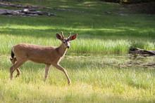 Yearling Deer In Meadow