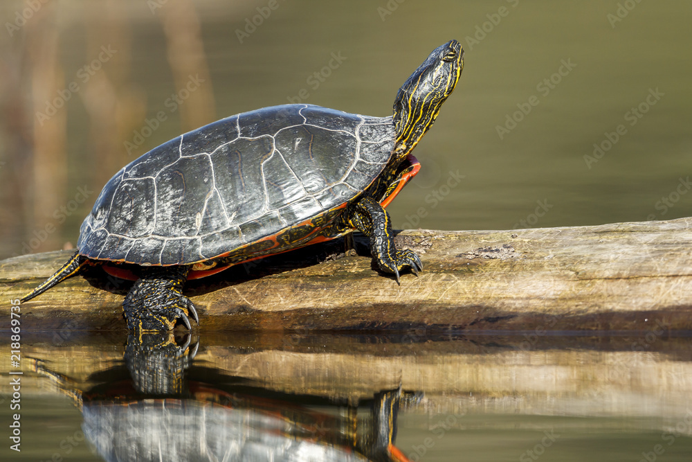 Side view of turle on log.