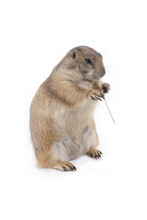 Prairie Dog Holding Grass In Hands And Enjoy Eating.