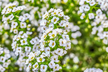 Macro Photo Of A White Yarrow Ordinary Close-up