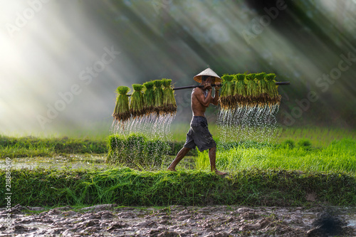 Fotografie, Obraz Vietnam farmer Bearing seedlings of rice to plant, Asian farmer Bearing rice see
