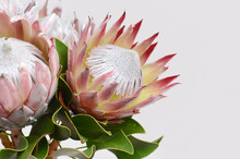 King Protea Flower On White Ba...