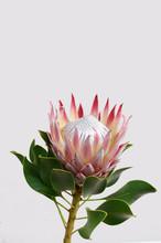 King Protea Flower On White Ba...