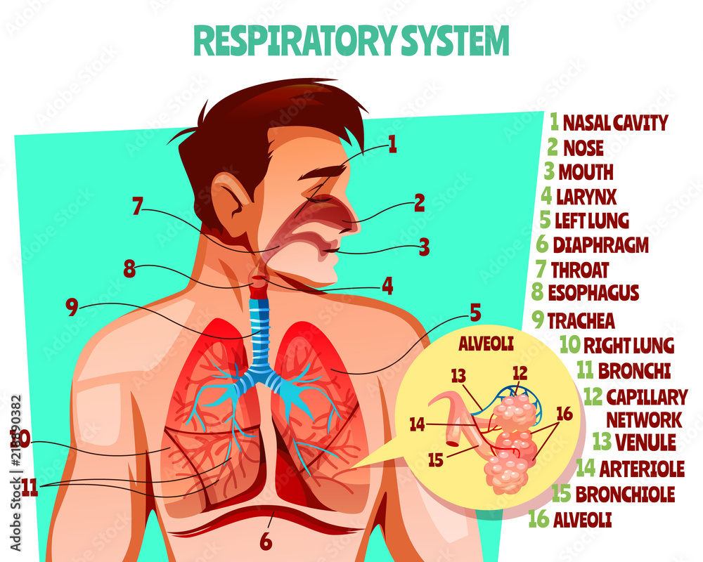 Fototapeta Human respiratory system vector illustration. Cartoon medical design of man body with lungs, esophagus or breath diaphragm and trachea or bronchi alveoli and blood capillary network