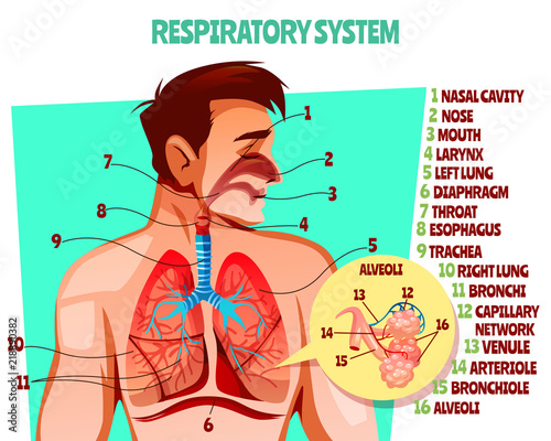 Photo Stands Illustrations Human respiratory system vector illustration. Cartoon medical design of man body with lungs, esophagus or breath diaphragm and trachea or bronchi alveoli and blood capillary network