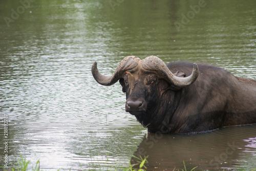 Staande foto Buffel SONY DSC