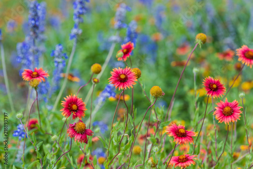 Szare   texas-spring-wildflowers