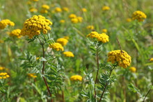 Tanacetum. Yellow Tansy Flowers And Insects Close-up In The Meadow