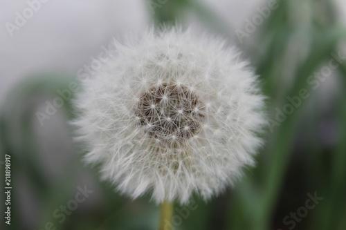 Big fluffy dandelion
