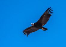 Andean Condor, National Symbol...