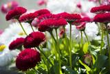 Fototapeta Kwiaty - Flowers in summer