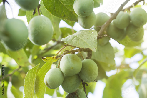 Growing green plums hanging on their branch