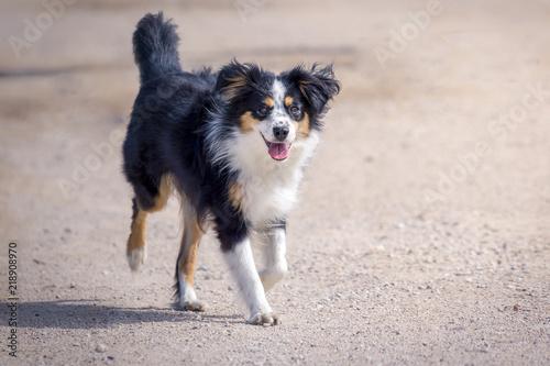 Fotografía Nala the Miniature Australian Shepherd, city walk