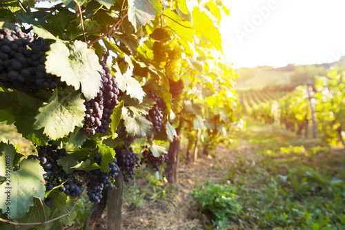 Staande foto Tuin vineyard with ripe grapes in countryside at sunset
