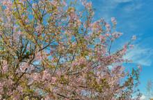 The Field Of Blossoming Pink Wild Himalayan Cherry Flowers (Thailand's Sakura Or Prunus Cerasoides)Beautiful Pink Sakura Flower At Phu Lom Lo Loei, Thailand. Wild Himalayan Cherry., Prunus Cerasoides.
