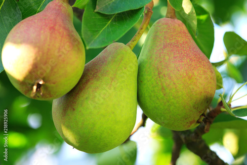 William Bon Chretian pears ripening on the tree.